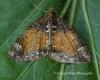 Common Marbled Carpet (Dysstroma truncata) Copyright: Graham Ekins