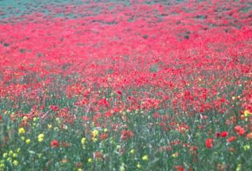 Poppies in field Copyright: Peter Harvey