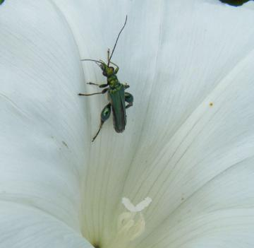 Oedemera nobilis - male Copyright: Martyn Everett