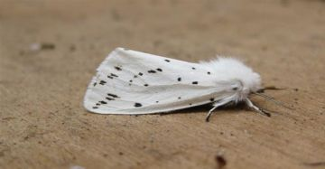 White Ermine 2 Copyright: Stephen Rolls