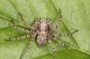 Philodromus buxi female4 Copyright: Peter Harvey