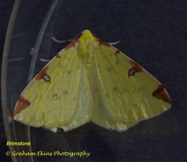 Brimstone  Opisthograptis luteolata Copyright: Graham Ekins