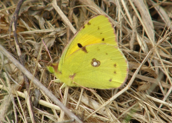 Clouded Yellow Copyright: Sue Grayston