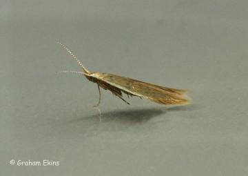 Coleophora milvipennis Copyright: Graham Ekins