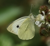 Large White (female) Copyright: Robert Smith