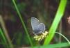 Cupido minimus Copyright: Peter Harvey