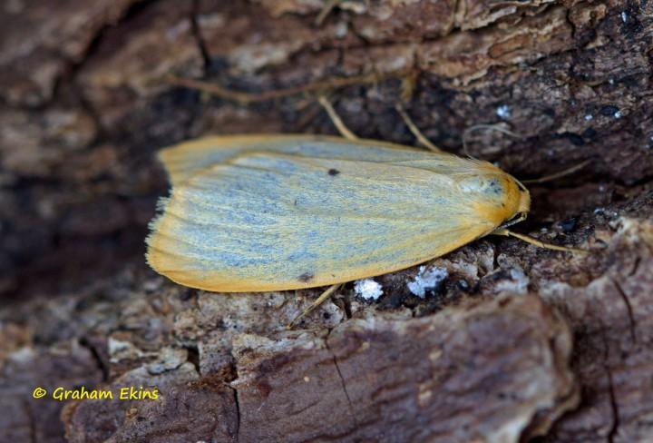 Four-dotted Footman Cybosia mesomella Copyright: Graham Ekins