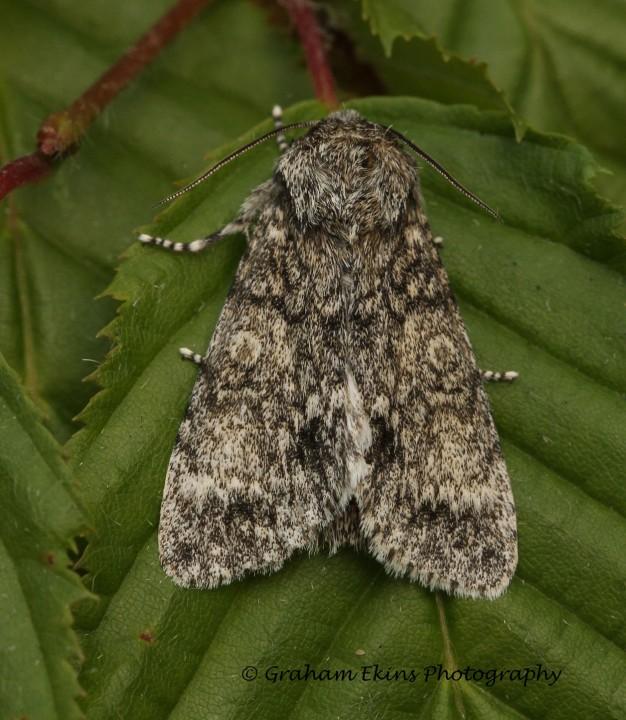 Poplar Grey Subacronicta megacephala Copyright: Graham Ekins
