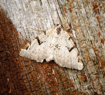 V-moth Copyright: Ben Sale