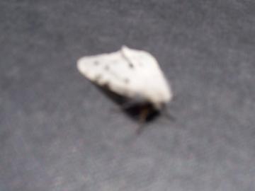 Moth Copyright: Allan