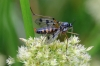 Ptychoptera contaminata Copyright: Michael Rumble