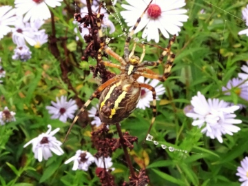 Wasp Spider - Underneath Copyright: Raymond Small