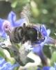Anthophora plumipes Copyright: Brian Wadie