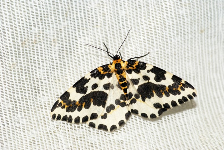 Magpie Moth 3 Copyright: Ben Sale
