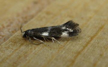 Elachista apicipunctella. Copyright: Stephen Rolls
