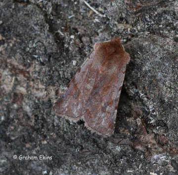 Red Chestnut Cerastis rubricosa Copyright: Graham Ekins