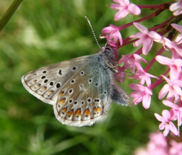 Common Blue butterfly Copyright: Sue Grayston