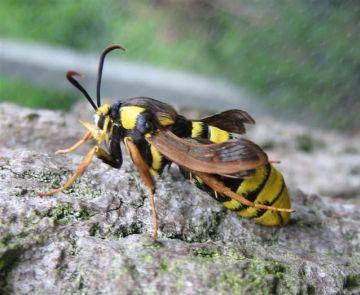 Hornet Moth. Copyright: Stephen Rolls