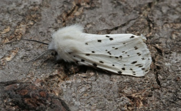 White Ermine  Spilosoma lubricipeda Copyright: Graham Ekins