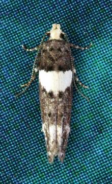 758 Recurvaria leucatella a Copyright: Tim Green