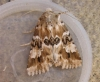 Dusky Sallow Copyright: Stephen Rolls