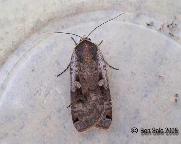 Large Yellow Underwing 5 Copyright: Ben Sale