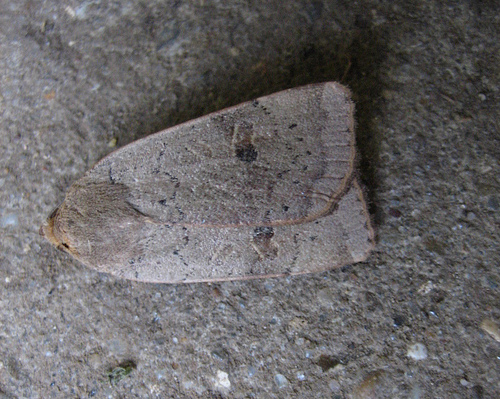 Lesser Yellow Underwing. Copyright: Stephen Rolls