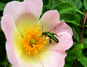 Oedemera nobilis 2 Copyright: Graham Smith