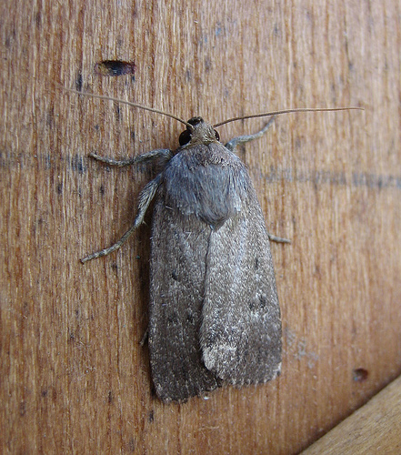 Mouse Moth 2 Copyright: Stephen Rolls