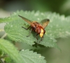 Volucella z. head Copyright: Robert Smith