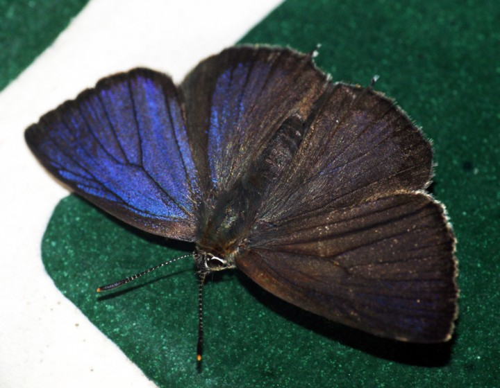 Purple Hairstreak 4 Copyright: Ben Sale