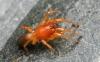 Dysdera crocata - jme6341 Copyright: John Everett