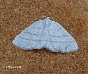 Common White Wave  Cabera pusaria Copyright: Graham Ekins
