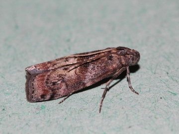 Phycita roborella Copyright: Peter Furze