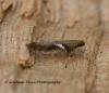 Caloptilia semifascia 4 Copyright: Graham Ekins