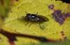 Platycheirus albimanus 3 Copyright: Graham Ekins
