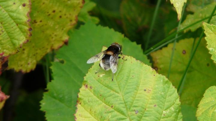 Hoverfly Eristalis intricarius Copyright: Alan Shearman