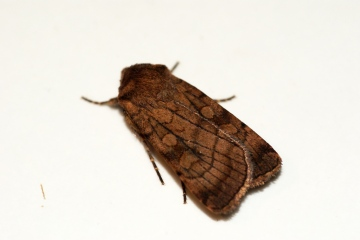 Six-striped Rustic 2 Copyright: Ben Sale