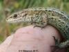Zootoca vivipara 1 Copyright: Colin Simpson