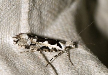Ypsolopha sequella 2 Copyright: Ben Sale