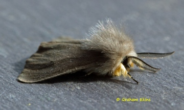Muslin Moth  Diaphora mendica Copyright: Graham Ekins