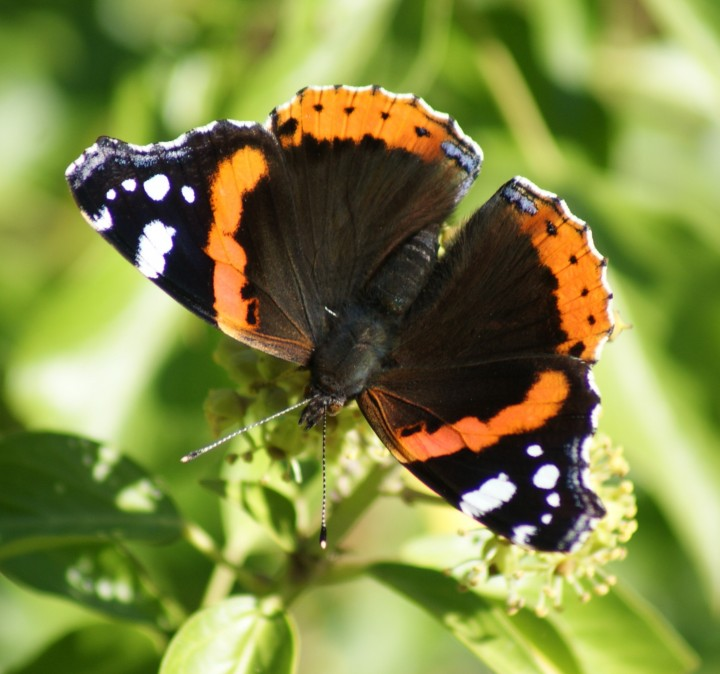 Red Admiral 2 Copyright: Robert Smith