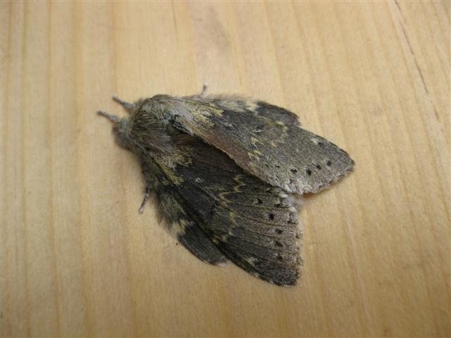Lobster Moth 3 Copyright: Stephen Rolls