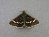 Pyrausta nigrata Copyright: Les Steward