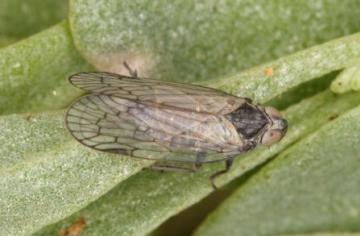 Oliarus leporinus Copyright: Peter Harvey