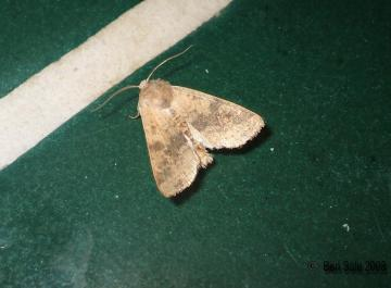 Dusky Lemon Sallow Copyright: Ben Sale