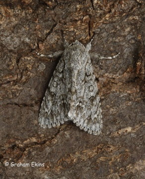 Acronicta aceris  Sycamore 6 Copyright: Graham Ekins