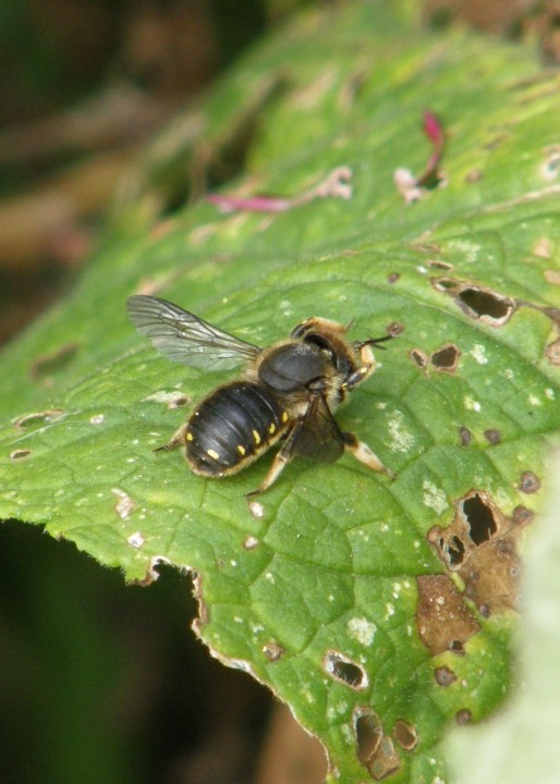 Anthidium manicatum Copyright: Sue Grayston