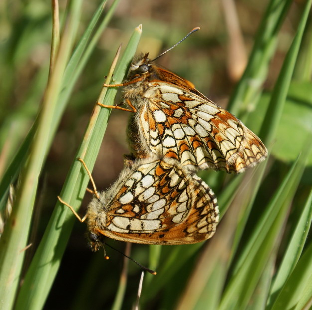 Heath Fritillary in cop Copyright: Robert Smith, 2009