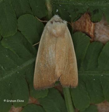 Arenostola phragmitidis  Fen Wainscot 5 Copyright: Graham Ekins